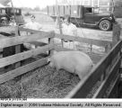 Three Young Children View Hogs at the Honey Creek High School Fair