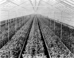 Elder Brothers greenhouse, 1930 (Bass #99827-F)