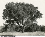 Large tree near pond, 1927 (Bass #203947-F)