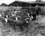 Beef cattle, Mansfield and Company,1912 (Bass #29659)