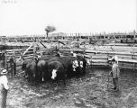 Men and cattle in pen, 1913 (Bass #38621)